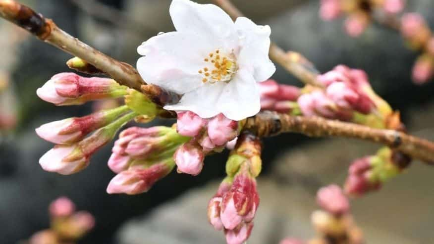 Photo from: http://a57.foxnews.com/images.foxnews.com/content/fox-news/world/2017/03/21/japan-cherry-blossom-season-begins-marking-start-spring/_jcr_content/par/featured-media/media-0.img.jpg/876/493/1490081484030.jpg?ve=1&tl=1